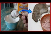 Killing rats with baking soda is the fast acting With Home Remedy