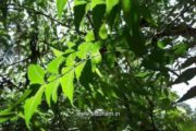 Herbal Medicine – Azadirachta indica – Natural Remedy for Insect Bite