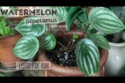 How to fix deformed leaves in Watermelon Peperomia | Natural Remedy for Calcium Magnesium Deficiency