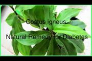 Costus igneus insulin plant – Natural Remedy for Diabetes
