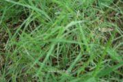 Herbal Medicine – Cynodon dactylon – Natural Remedy for Skin Diseases