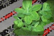 natural remedy for white wart / remediu natural: alunițele albe / биљка против белих младежа