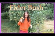 Natural Remedy for Cold and Flu ~  The Elder Bush